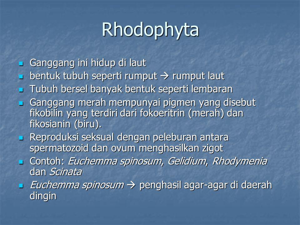 Rhodophyta Ganggang ini hidup di laut