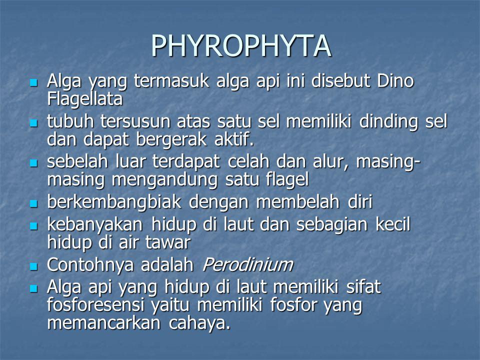 PHYROPHYTA Alga yang termasuk alga api ini disebut Dino Flagellata
