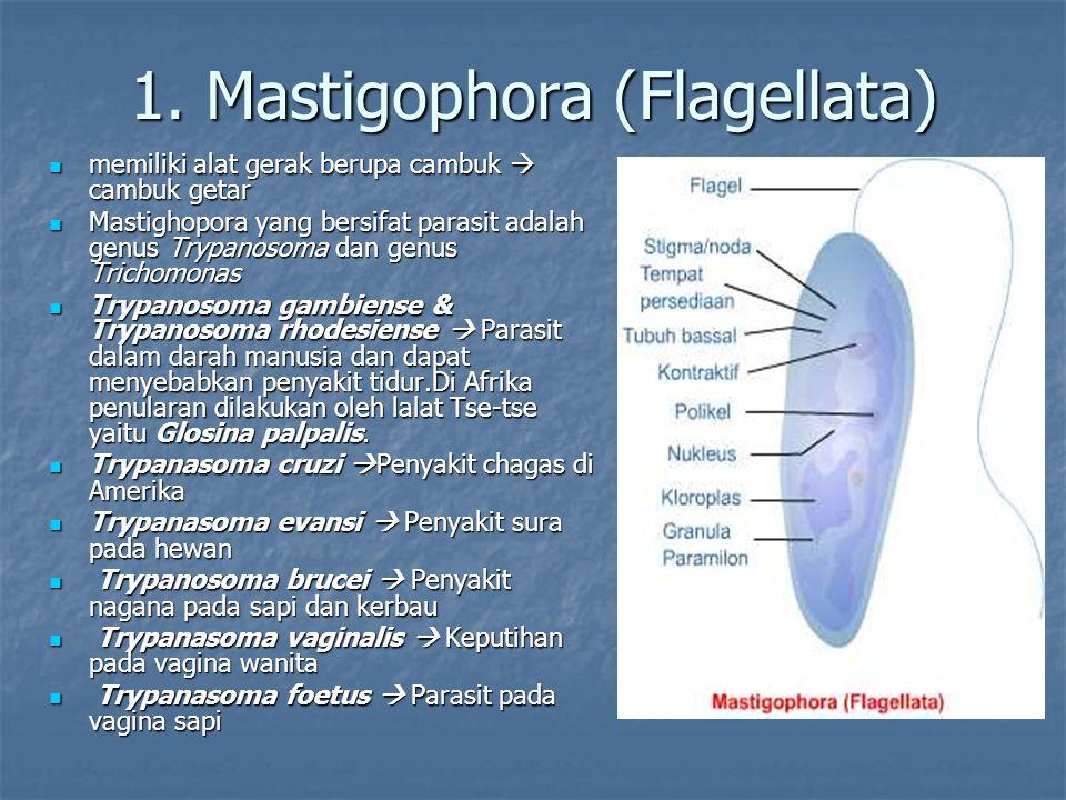 1. Mastigophora (Flagellata)
