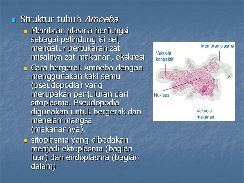 Struktur tubuh Amoeba Membran plasma berfungsi sebagai pelindung isi sel, mengatur pertukaran zat misalnya zat makanan, ekskresi.