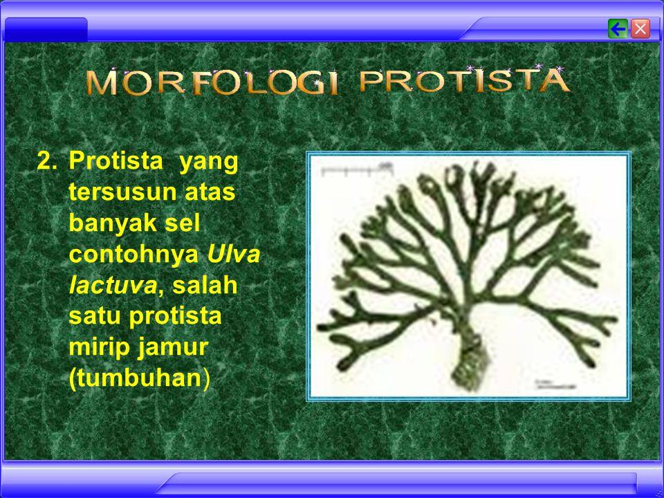 Protista yang tersusun atas banyak sel contohnya Ulva lactuva, salah satu protista mirip jamur (tumbuhan)