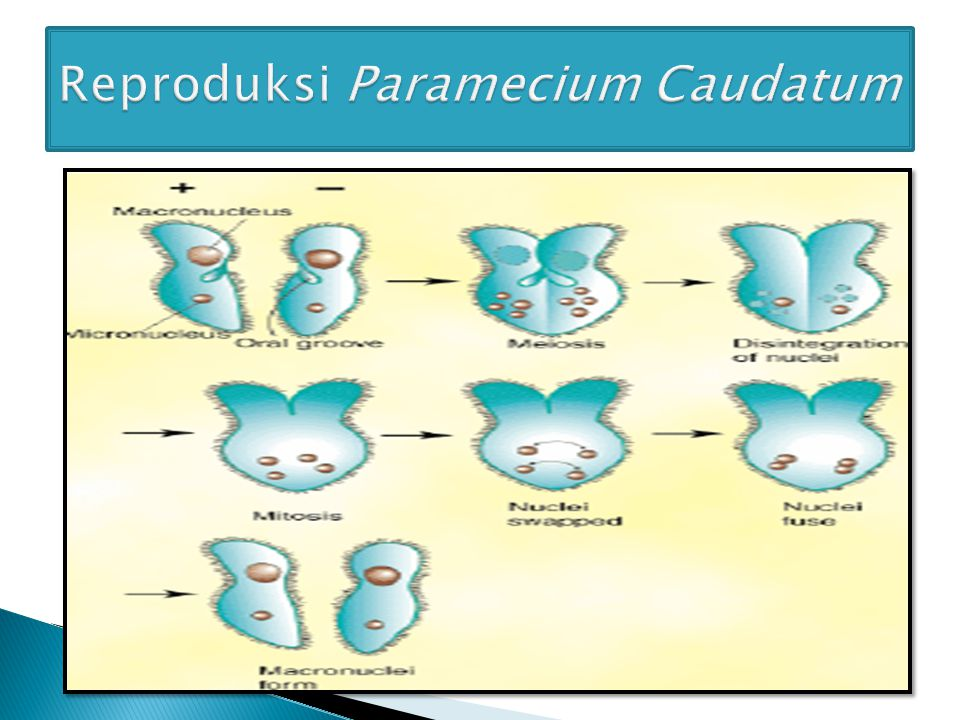 Reproduksi Paramecium Caudatum