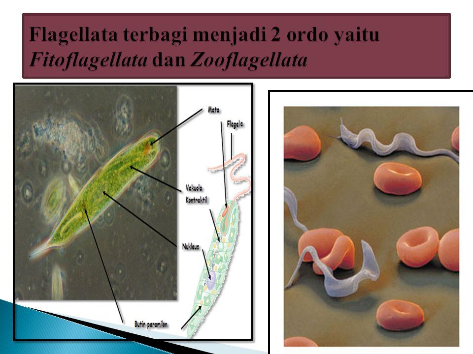 Flagellata terbagi menjadi 2 ordo yaitu Fitoflagellata dan Zooflagellata