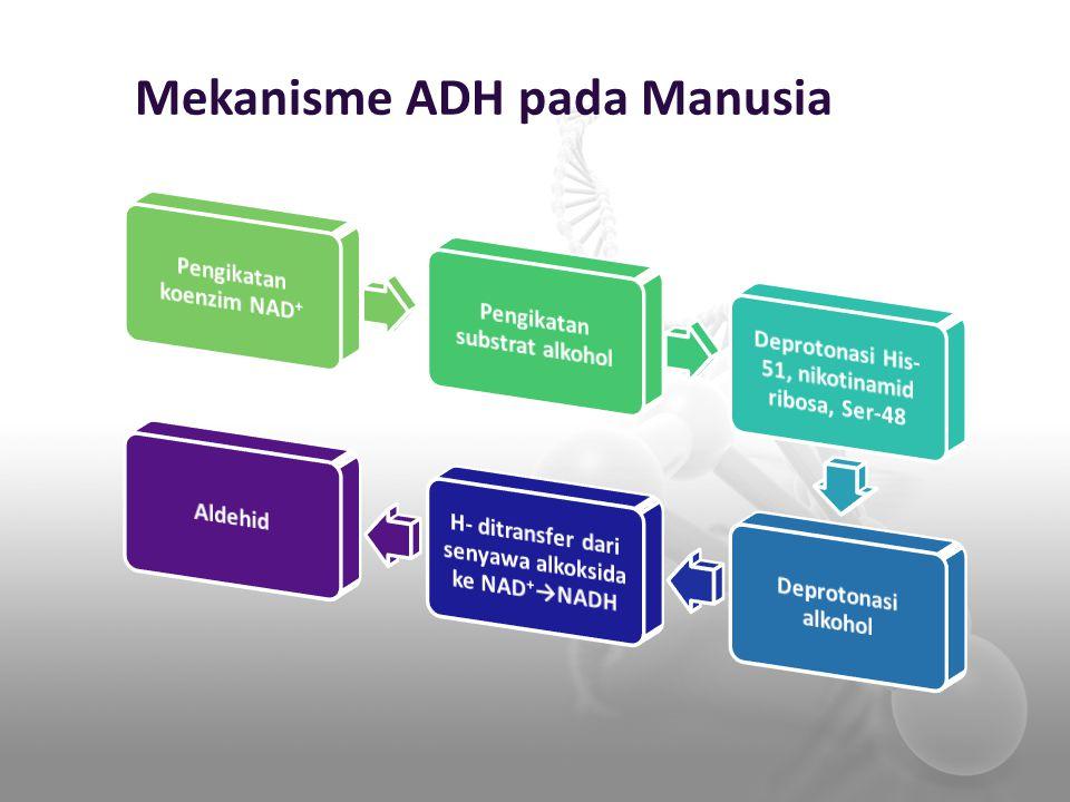 Mekanisme ADH pada Manusia