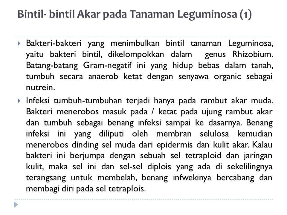 Bintil- bintil Akar pada Tanaman Leguminosa (1)