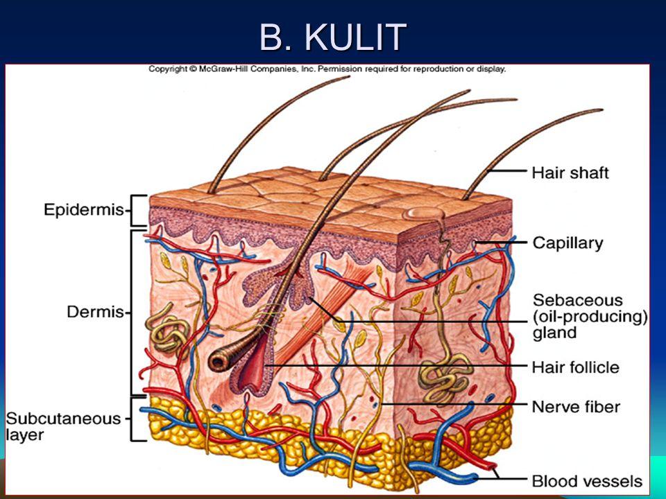 B. KULIT