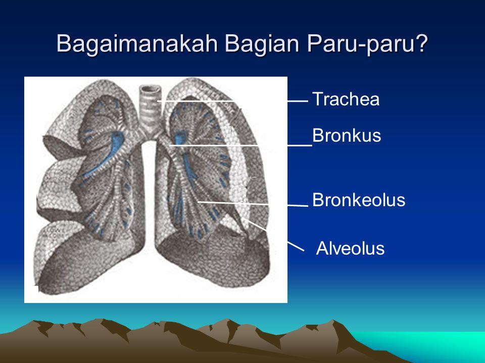 Bagaimanakah Bagian Paru-paru