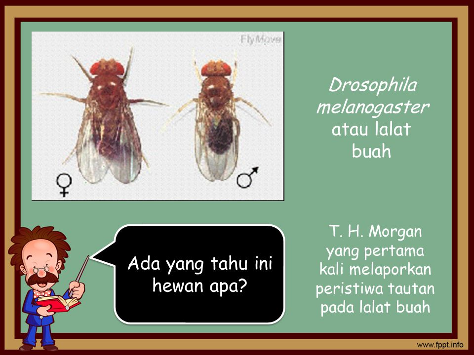 Drosophila melanogaster atau lalat buah