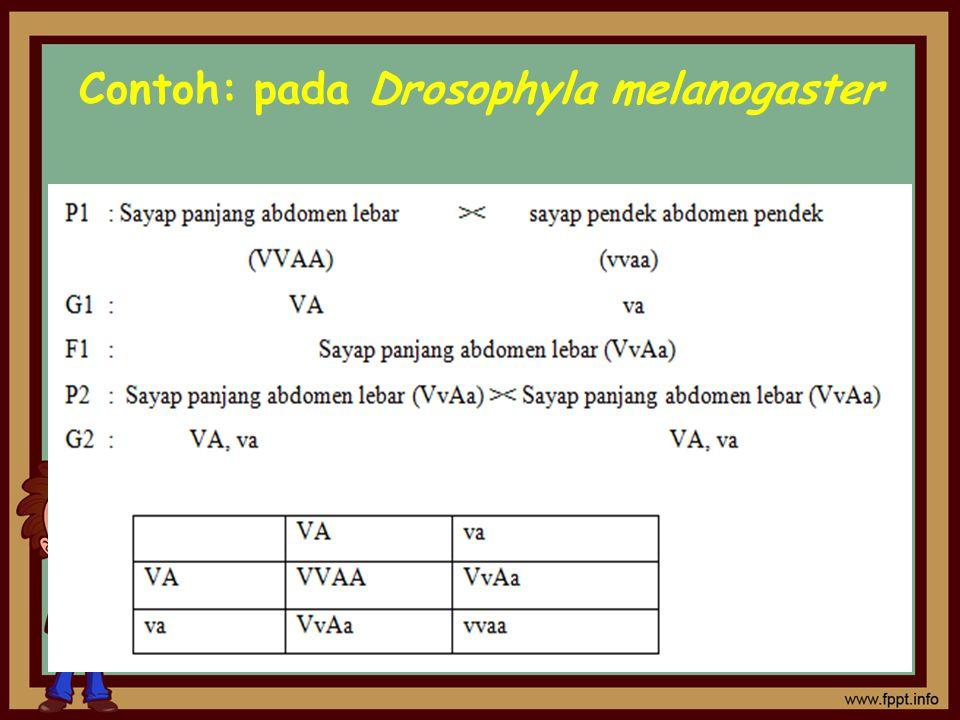 Contoh: pada Drosophyla melanogaster