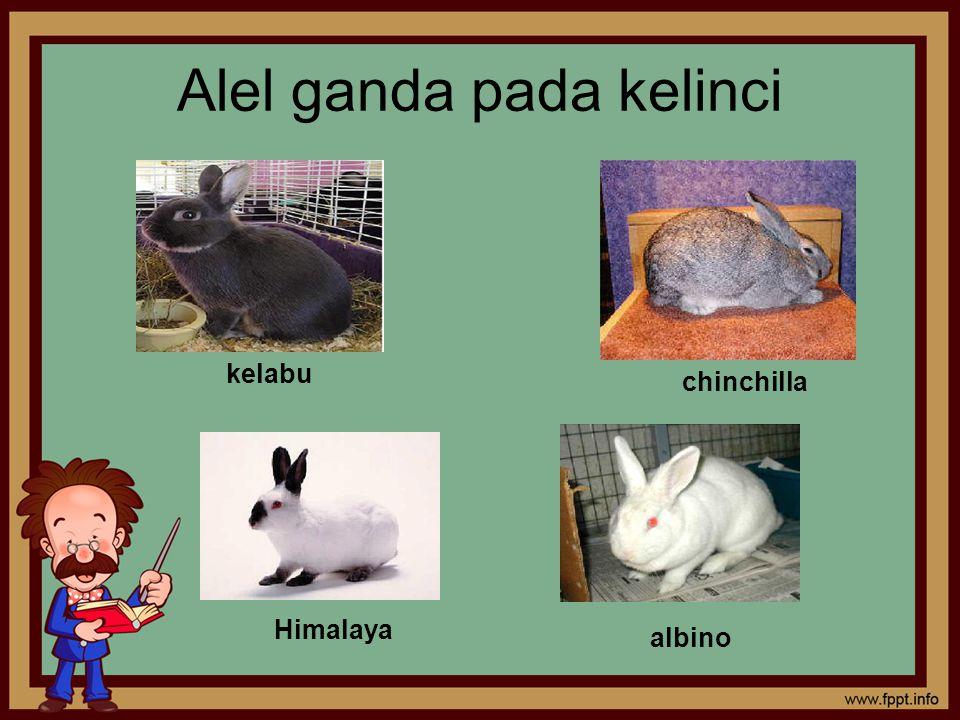 Alel ganda pada kelinci