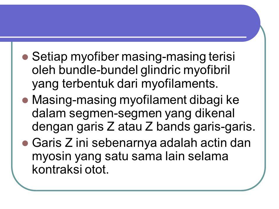 Setiap myofiber masing-masing terisi oleh bundle-bundel glindric myofibril yang terbentuk dari myofilaments.