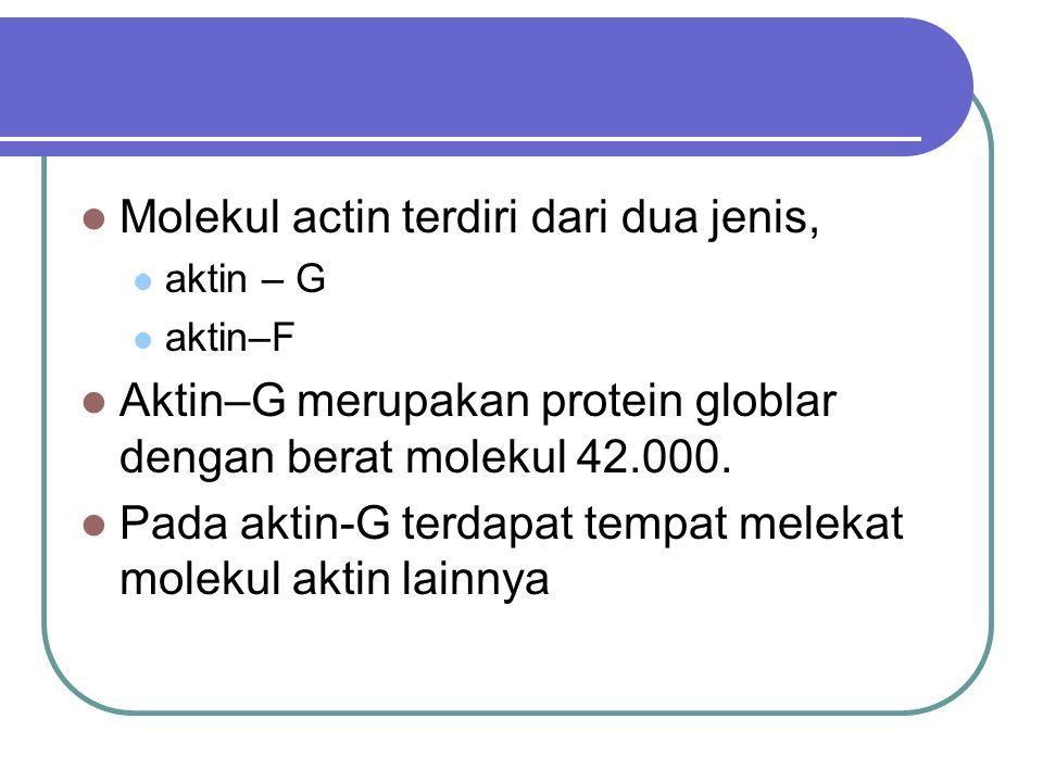 Molekul actin terdiri dari dua jenis,