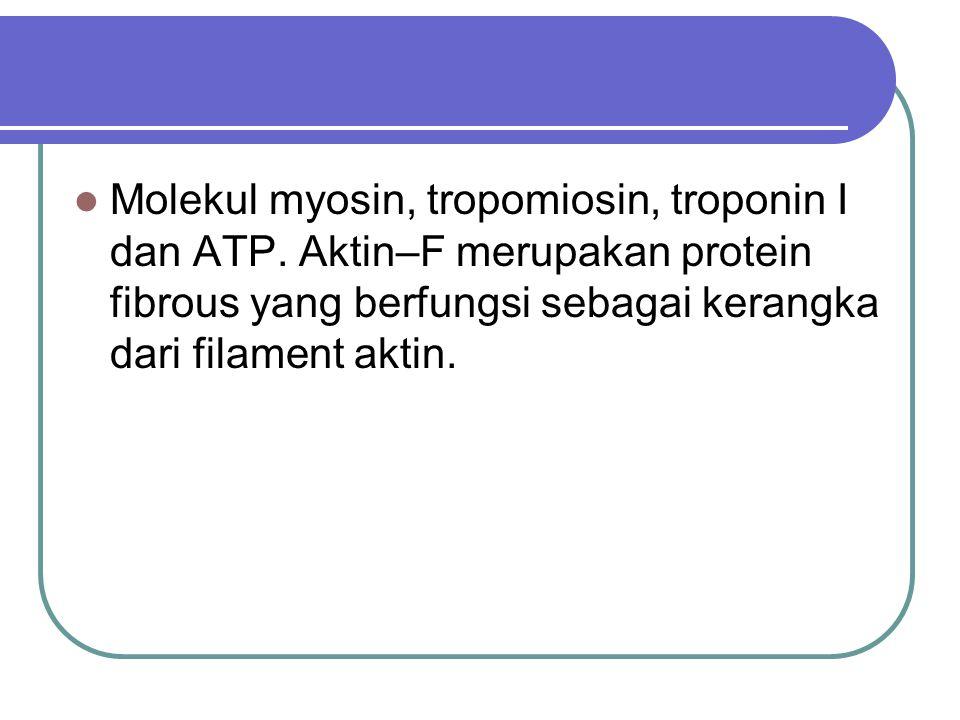 Molekul myosin, tropomiosin, troponin I dan ATP