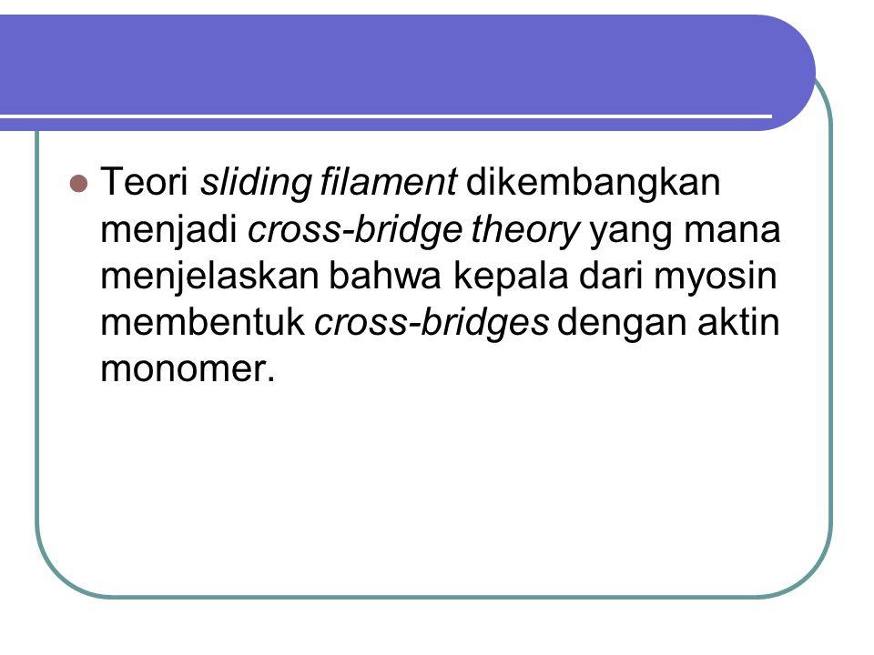 Teori sliding filament dikembangkan menjadi cross-bridge theory yang mana menjelaskan bahwa kepala dari myosin membentuk cross-bridges dengan aktin monomer.