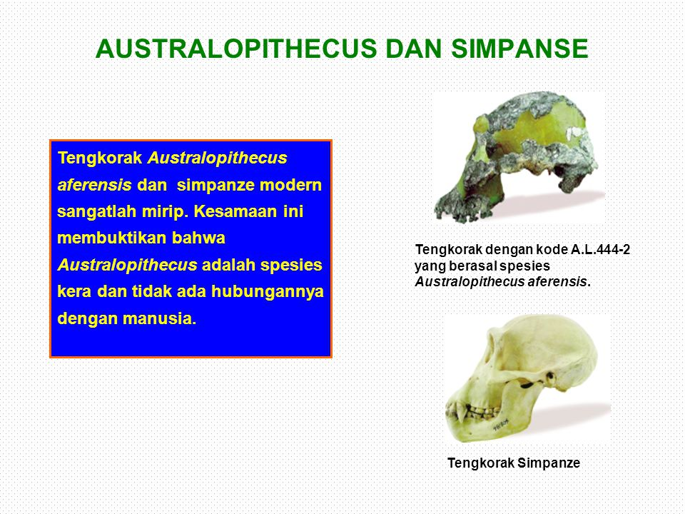 AUSTRALOPITHECUS DAN SIMPANSE