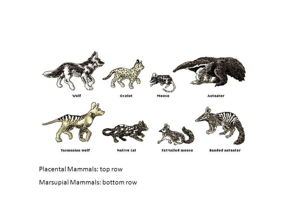 Placental Mammals: top row