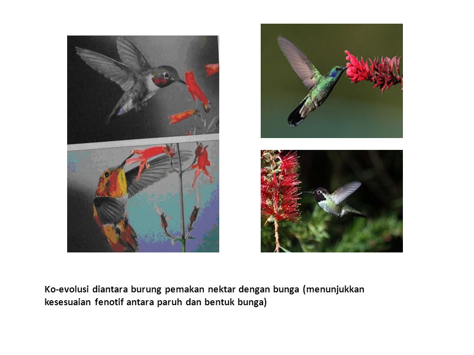 Ko-evolusi diantara burung pemakan nektar dengan bunga (menunjukkan kesesuaian fenotif antara paruh dan bentuk bunga)