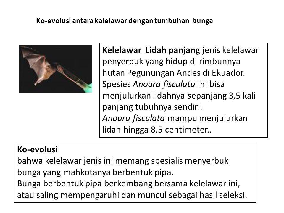 Anoura fisculata mampu menjulurkan lidah hingga 8,5 centimeter..