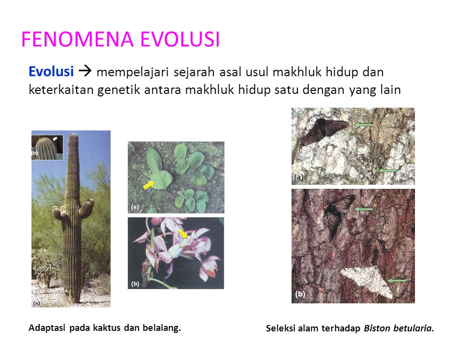 Seleksi alam terhadap Biston betularia.