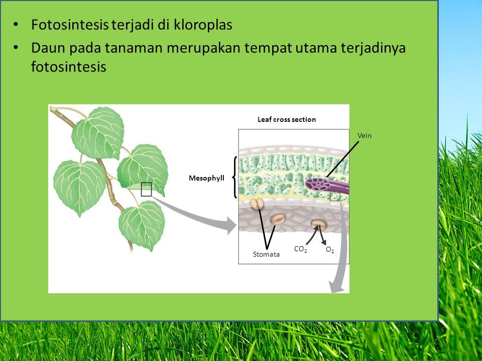 Fotosintesis terjadi di kloroplas
