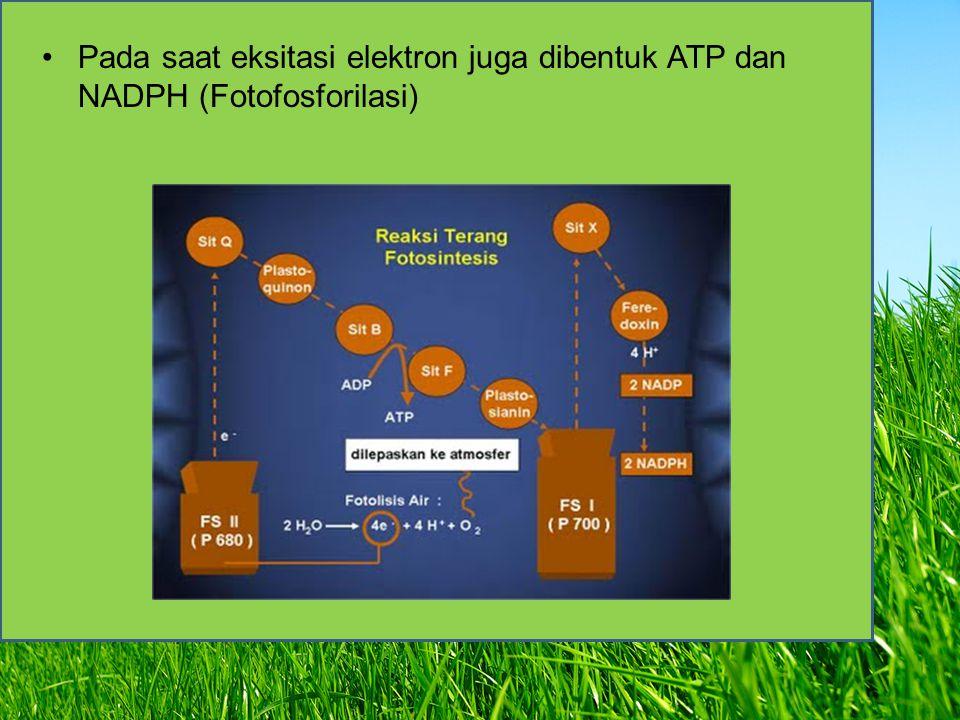 hk Pada saat eksitasi elektron juga dibentuk ATP dan NADPH (Fotofosforilasi)