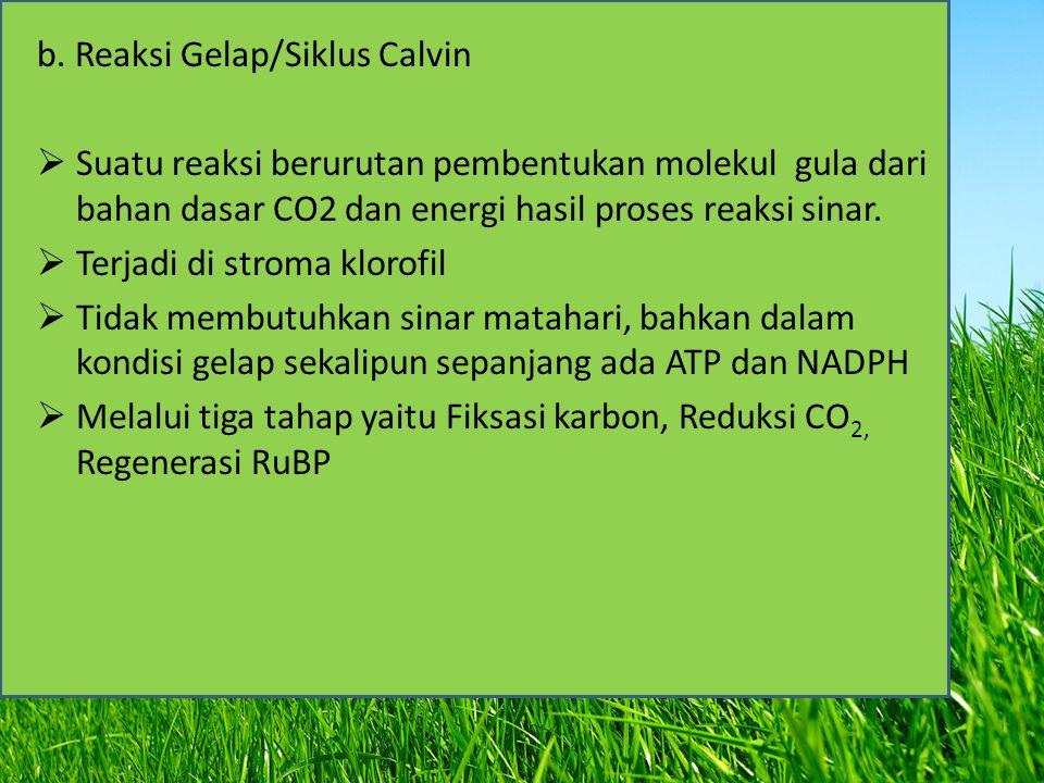 b. Reaksi Gelap/Siklus Calvin