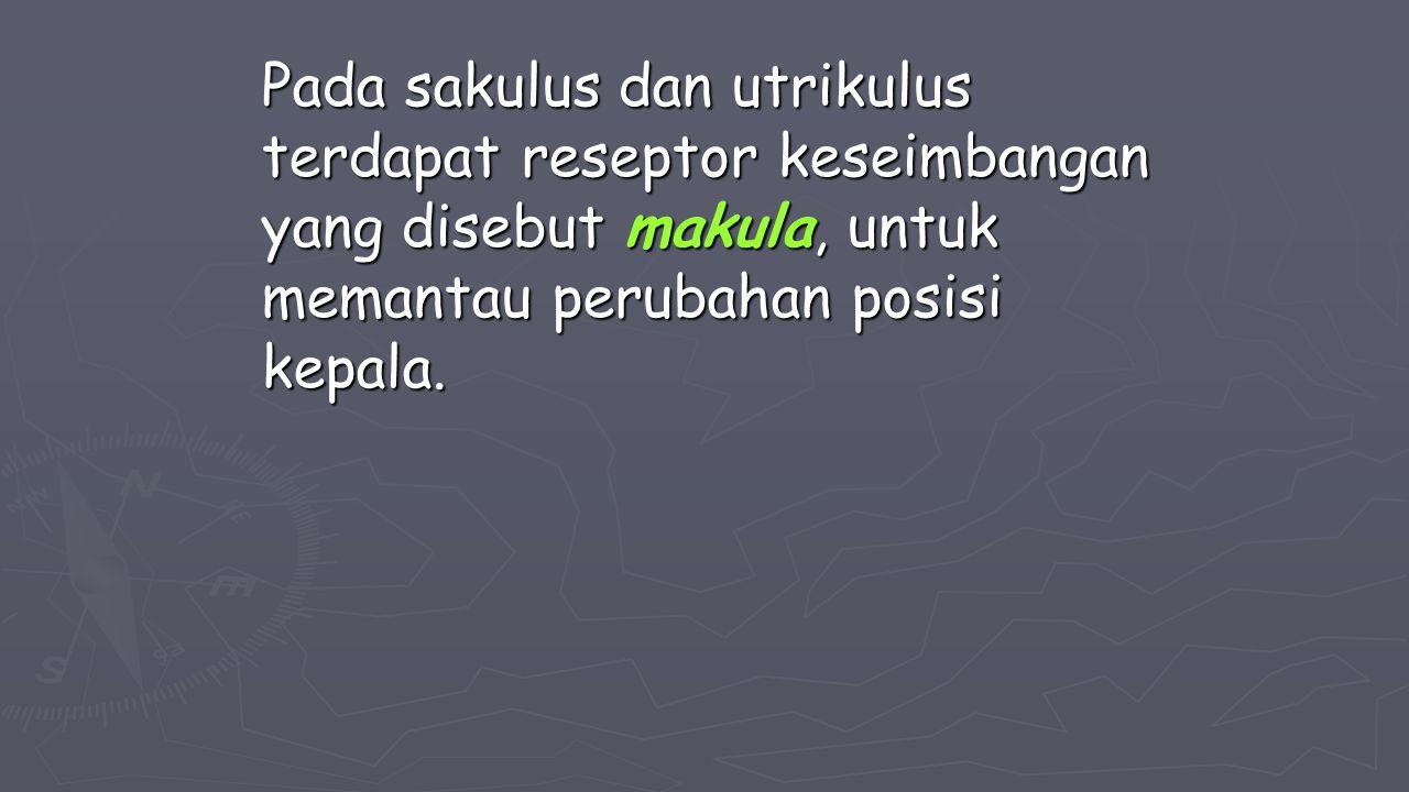 Pada sakulus dan utrikulus terdapat reseptor keseimbangan yang disebut makula, untuk memantau perubahan posisi kepala.