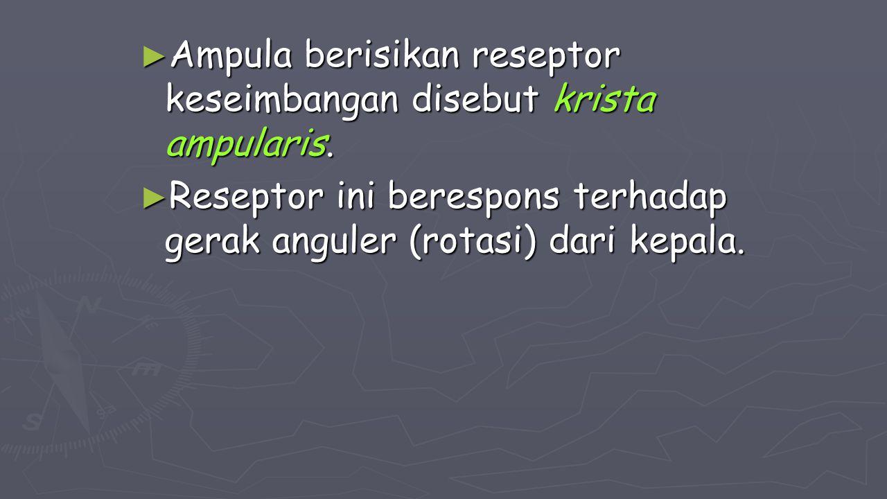 Ampula berisikan reseptor keseimbangan disebut krista ampularis.