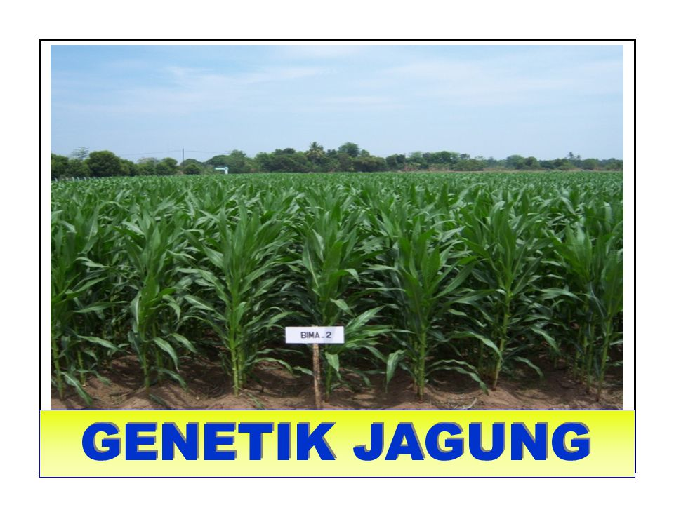 GENETIK TANAMAN MENYERBUK SILANG : JAGUNG