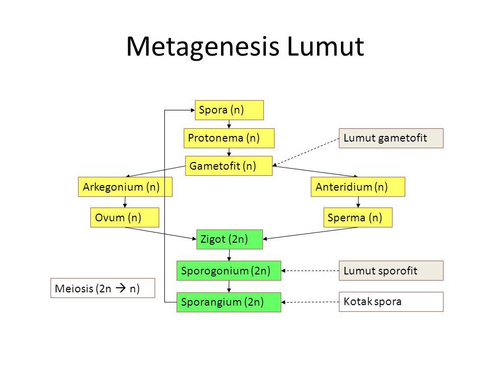Metagenesis Lumut Spora (n) Protonema (n) Lumut gametofit