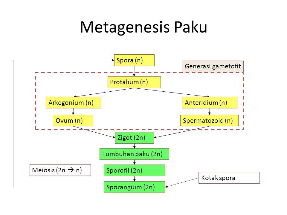 Metagenesis Paku Spora (n) Generasi gametofit Protalium (n)