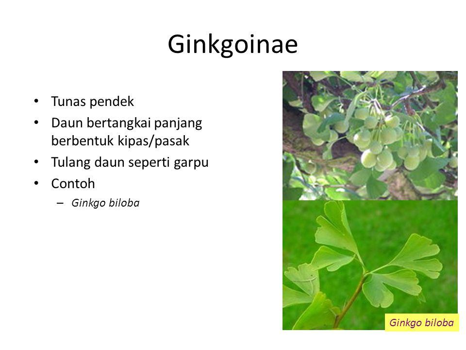 Ginkgoinae Tunas pendek Daun bertangkai panjang berbentuk kipas/pasak
