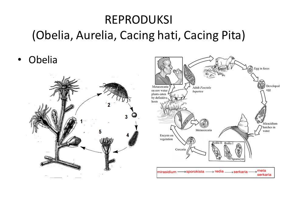 REPRODUKSI (Obelia, Aurelia, Cacing hati, Cacing Pita)