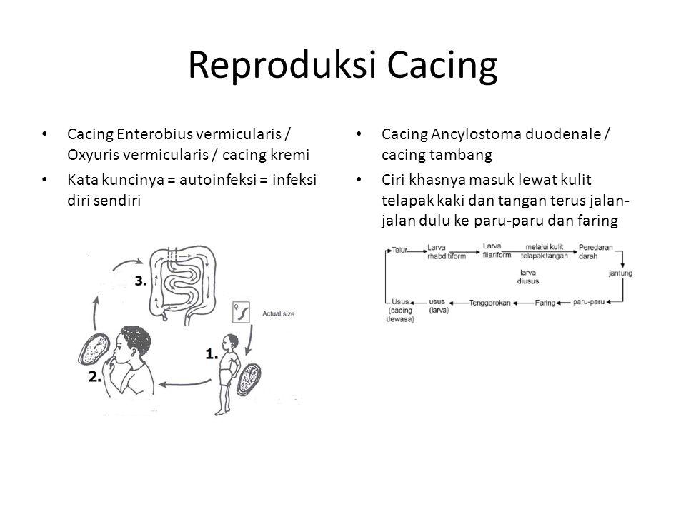 Reproduksi Cacing Cacing Enterobius vermicularis / Oxyuris vermicularis / cacing kremi. Kata kuncinya = autoinfeksi = infeksi diri sendiri.