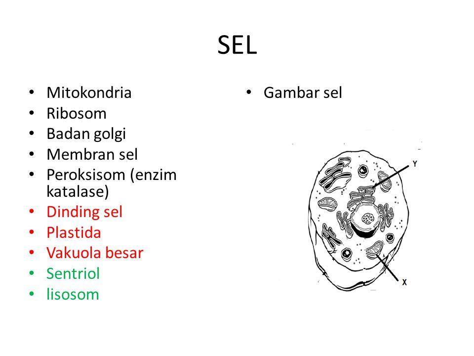 SEL Mitokondria Ribosom Badan golgi Membran sel