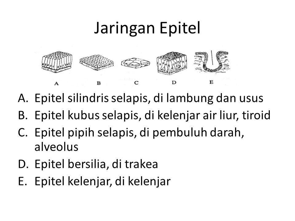 Jaringan Epitel Epitel silindris selapis, di lambung dan usus