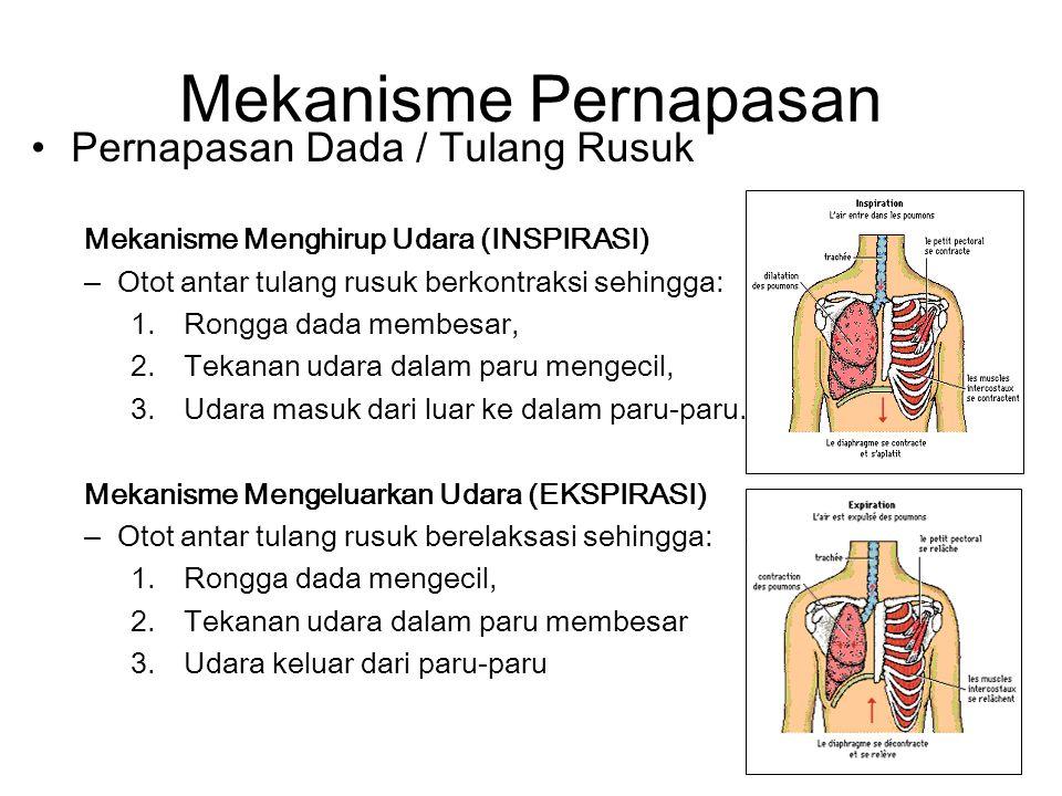 Mekanisme Pernapasan Pernapasan Dada / Tulang Rusuk