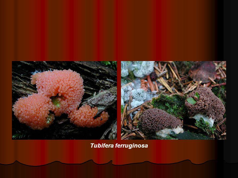 Tubifera ferruginosa