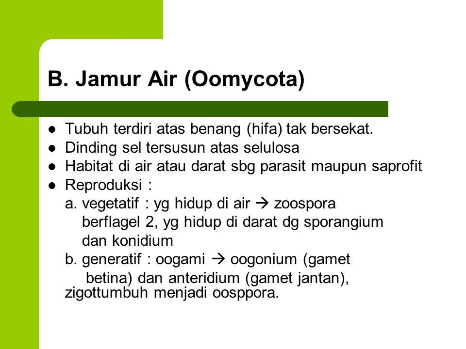 B. Jamur Air (Oomycota) Tubuh terdiri atas benang (hifa) tak bersekat.