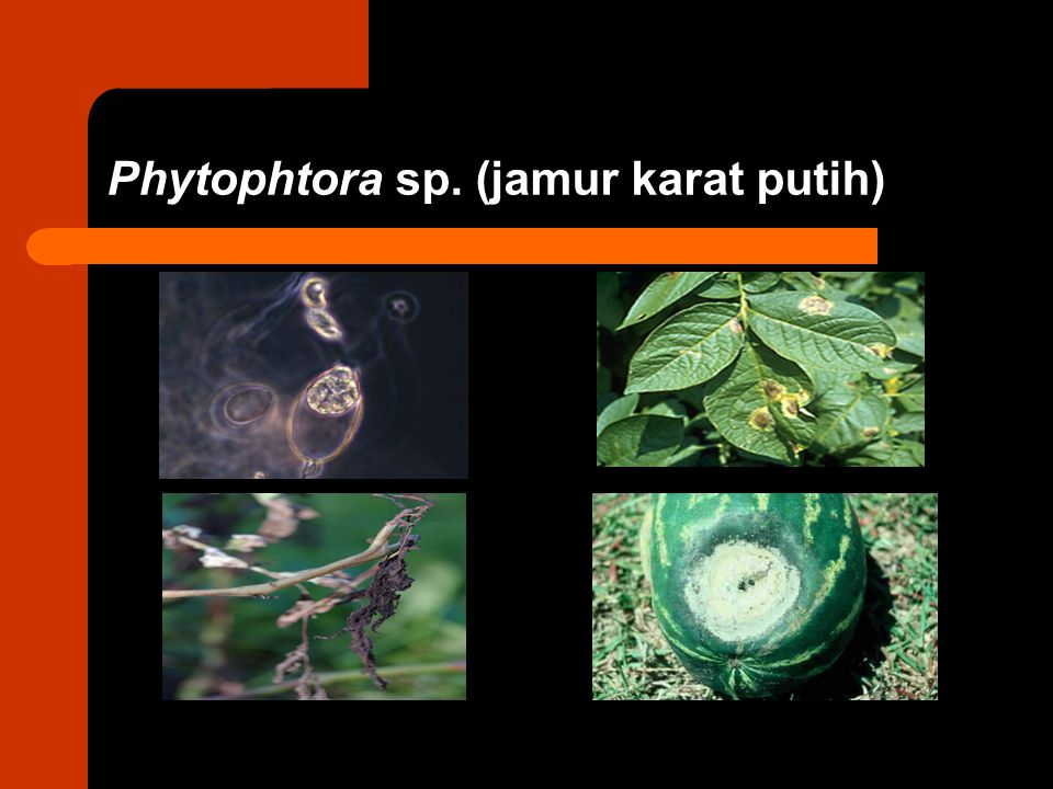 Phytophtora sp. (jamur karat putih)