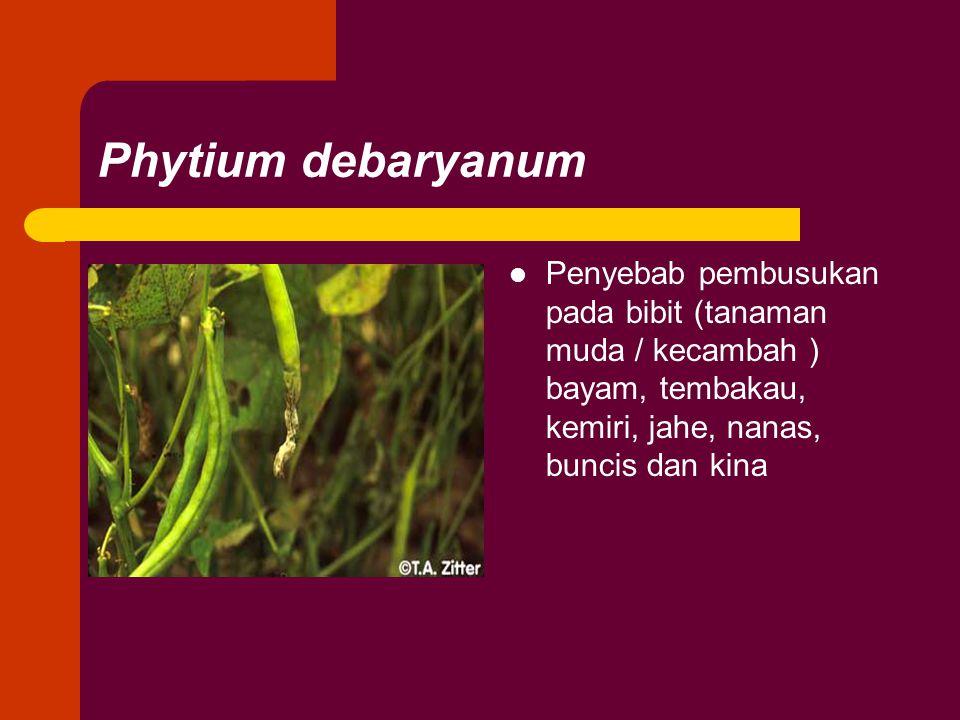 Phytium debaryanum Penyebab pembusukan pada bibit (tanaman muda / kecambah ) bayam, tembakau, kemiri, jahe, nanas, buncis dan kina.