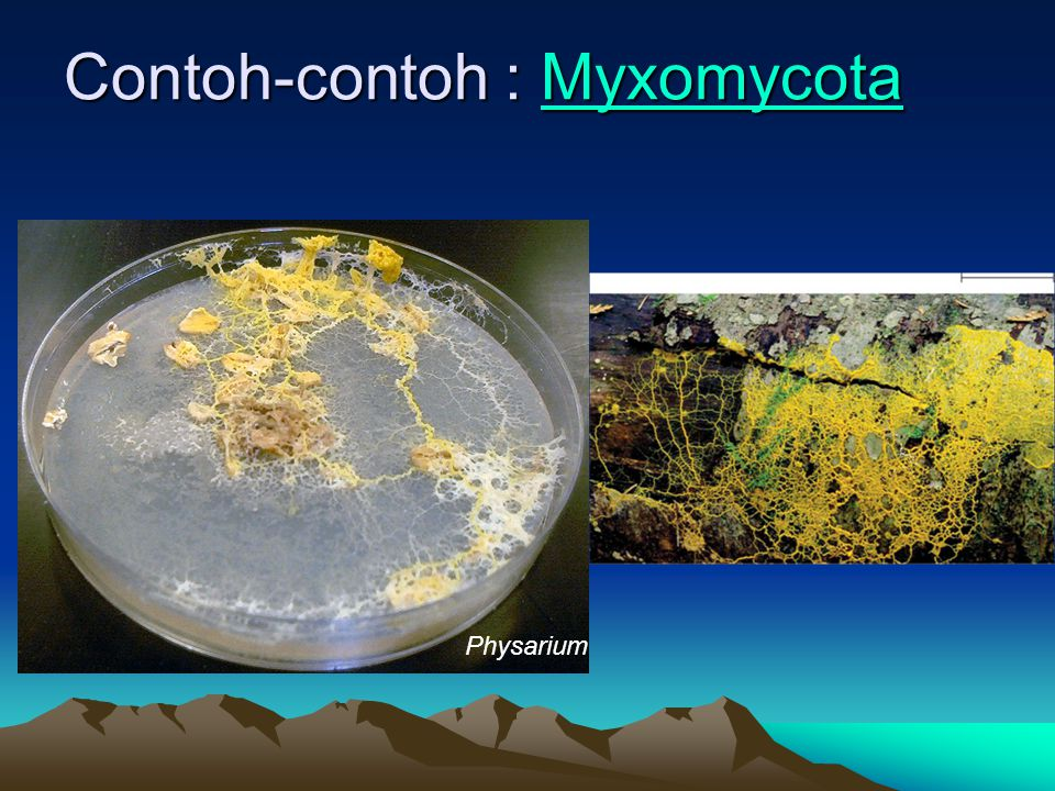 Contoh-contoh : Myxomycota