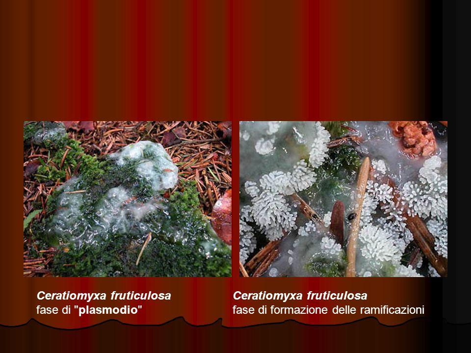 Ceratiomyxa fruticulosa fase di plasmodio