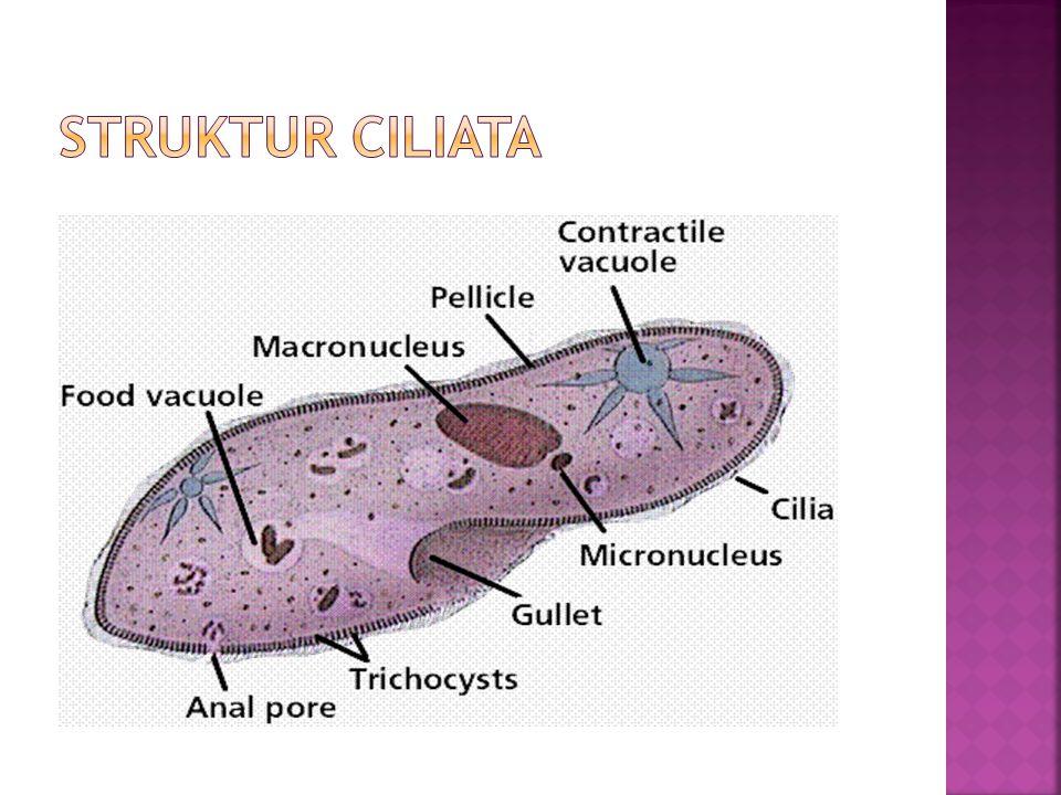 STRUKTUR CILIATA