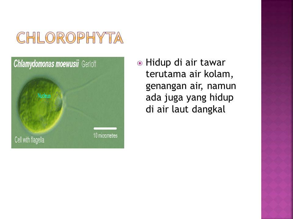 CHLOROPHYTA Hidup di air tawar terutama air kolam, genangan air, namun ada juga yang hidup di air laut dangkal.