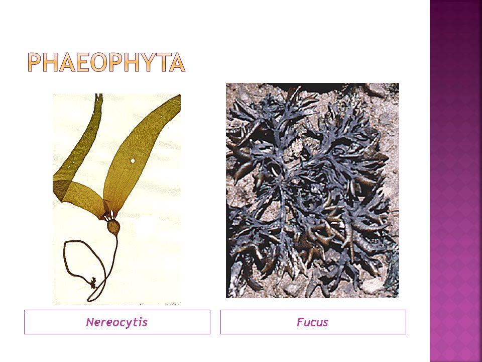 PHAEOPHYTA Nereocytis Fucus
