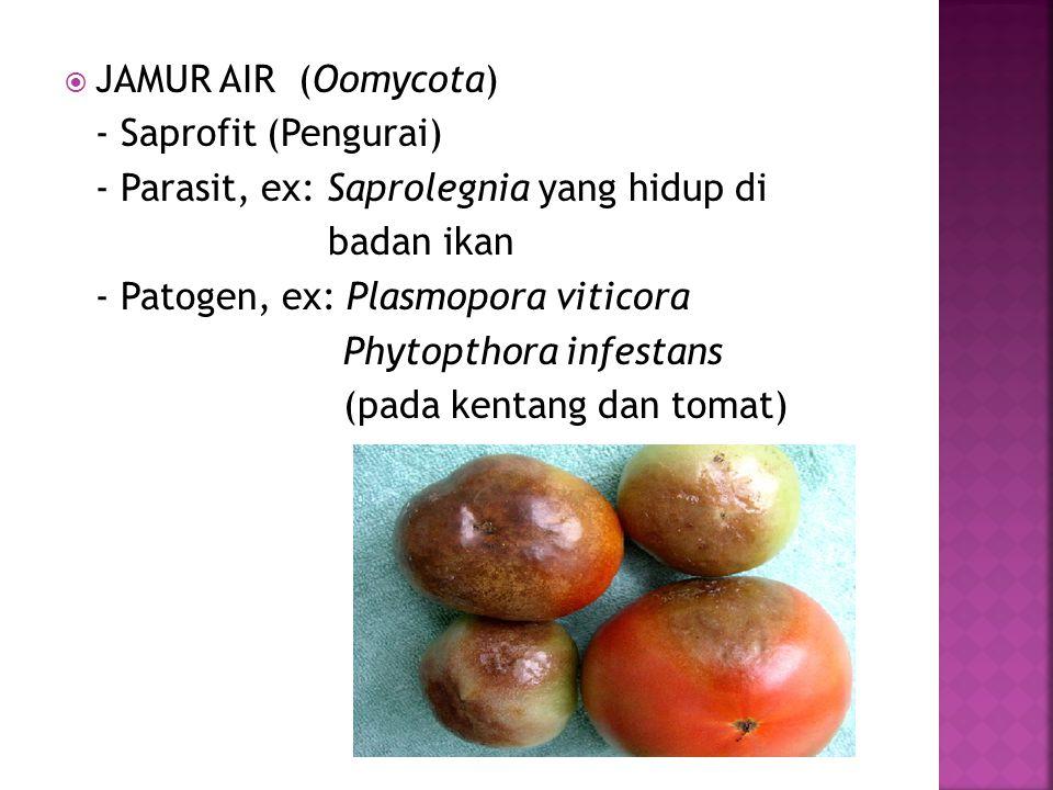 JAMUR AIR (Oomycota) - Saprofit (Pengurai) - Parasit, ex: Saprolegnia yang hidup di. badan ikan.