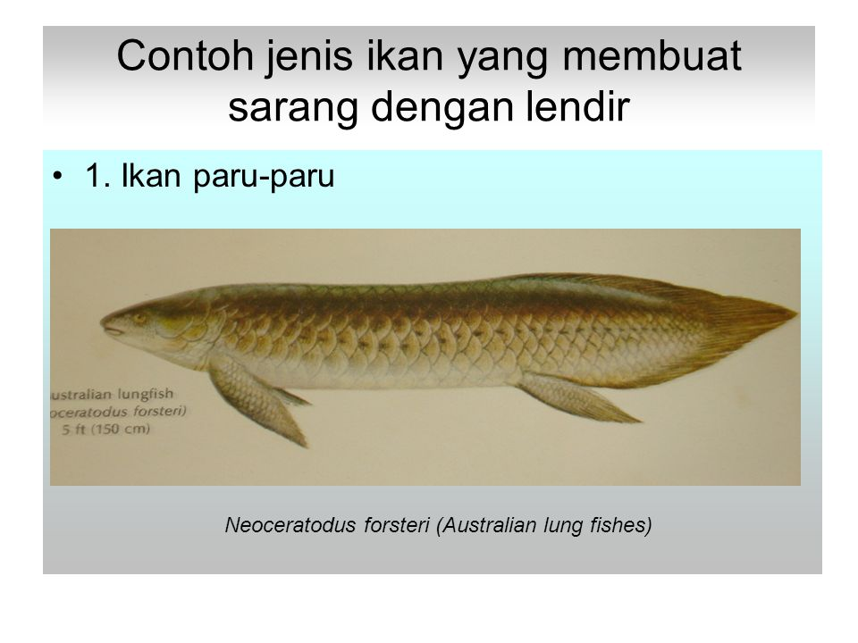 Contoh jenis ikan yang membuat sarang dengan lendir