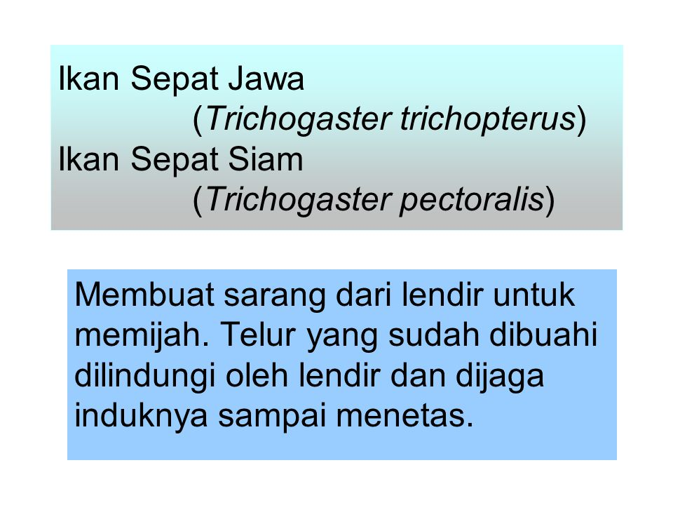 Ikan Sepat Jawa. (Trichogaster trichopterus) Ikan Sepat Siam