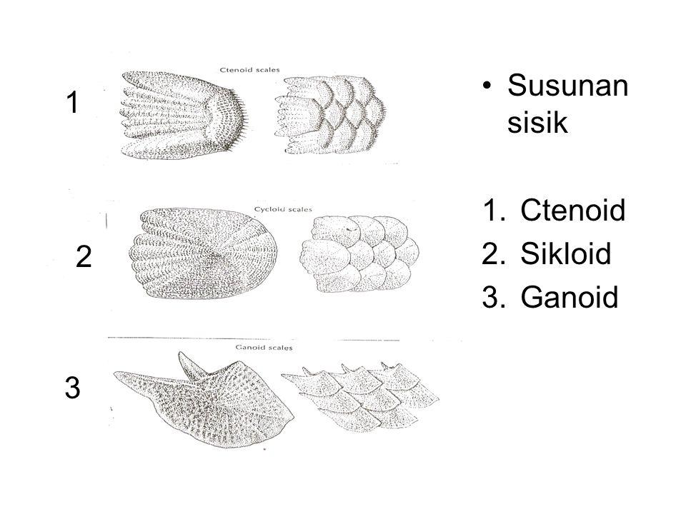 Susunan sisik Ctenoid Sikloid Ganoid 1 2 3